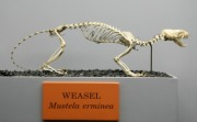 Weasel_(Mustela_erminea) for RR